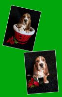 Basset Hound Puppies for sale in Indianapolis, IN 46201, USA. price: NA