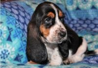 Basset Hound Puppies for sale in Lowell, MA 01851, USA. price: NA