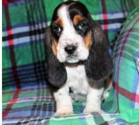 Basset Hound Puppies for sale in Buechel, KY 40218, USA. price: NA
