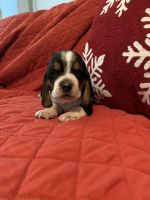 Basset Hound Puppies for sale in Columbia, KY 42728, USA. price: NA