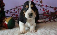 Basset Hound Puppies for sale in Detroit, MI 48219, USA. price: NA