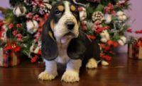 Basset Hound Puppies for sale in Birmingham, AL 35232, USA. price: NA