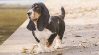 Basset Hound Puppies for sale in Albuquerque, NM 87125, USA. price: NA