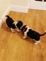 Basset Hound Puppies for sale in Philadelphia, PA, USA. price: NA