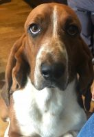 Basset Hound Puppies for sale in North Wilkesboro, NC, USA. price: NA