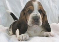 Basset Hound Puppies for sale in Harrisburg, PA, USA. price: NA