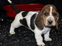 Basset Hound Puppies for sale in Des Moines, IA, USA. price: NA