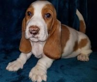 Basset Hound Puppies for sale in Raleigh, NC 27668, USA. price: NA