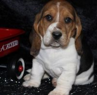 Basset Hound Puppies for sale in Indianapolis, IN 46283, USA. price: NA