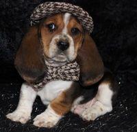 Basset Hound Puppies for sale in Phoenix, AZ 85078, USA. price: NA