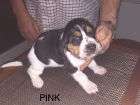 Basset Hound Puppies for sale in Lexington, KY, USA. price: NA