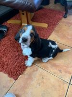 Basset Hound Puppies for sale in Colorado Springs, CO 80903, USA. price: NA