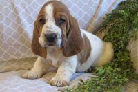 Basset Hound Puppies for sale in Lansing, MI, USA. price: NA