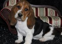 Basset Hound Puppies for sale in Denver, CO, USA. price: NA
