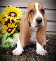 Basset Hound Puppies for sale in Huntsville, AL, USA. price: NA