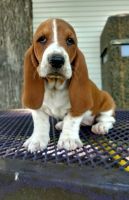Basset Hound Puppies for sale in Albuquerque, NM, USA. price: NA
