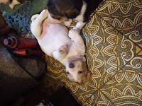 Basset Hound Puppies for sale in Casa Grande, AZ, USA. price: NA