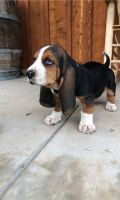 Basset Hound Puppies for sale in Columbus, GA, USA. price: NA