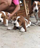 Basset Hound Puppies for sale in Kennesaw, GA, USA. price: NA
