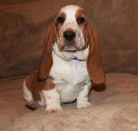 Basset Hound Puppies for sale in Cranberry Twp, PA, USA. price: NA