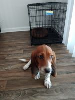 Basset Hound Puppies for sale in 1384 Riverview Rd, Rock Hill, SC 29732, USA. price: NA