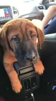Basset Hound Puppies Photos