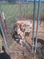 Beagador Puppies Photos