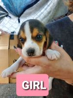 Beagle Puppies for sale in Midway, TX 75852, USA. price: NA