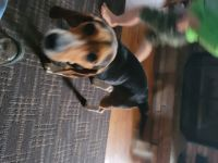 Beagle Puppies for sale in Ada, OK, USA. price: NA