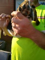 Beagle Puppies for sale in Shelbyville, IN 46176, USA. price: NA