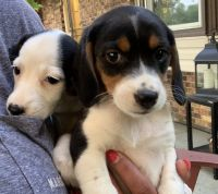 Beagle Puppies for sale in Columbus, OH, USA. price: NA