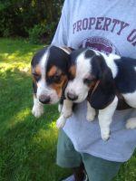 Beagle Puppies for sale in Warwick, RI, USA. price: NA