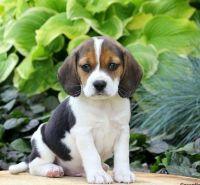 Beagle Puppies for sale in Bay Ridge, Brooklyn, NY, USA. price: NA