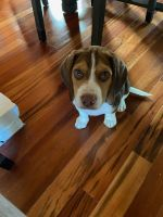 Beagle Puppies for sale in Glendale, CA, USA. price: NA