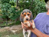 Beagle Puppies for sale in Marmaduke, AR 72443, USA. price: NA