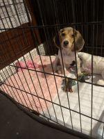 Beagle Puppies for sale in Dallas, TX, USA. price: NA