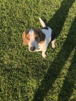 Beagle Puppies for sale in Riverside, CA, USA. price: NA