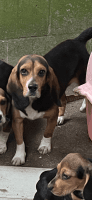 Beagle Puppies for sale in Pink Hill, NC 28572, USA. price: NA