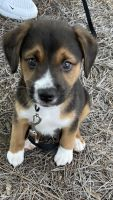 Beagle Puppies for sale in Charlotte, NC, USA. price: NA