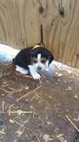 Beagle Puppies for sale in Cleveland, OH 44109, USA. price: NA