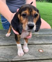 Beagle Puppies for sale in Delaware, OH 43015, USA. price: NA