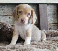 Beagle Puppies for sale in West Plains, MO 65775, USA. price: NA