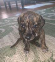 Beagle Puppies for sale in Murfreesboro, TN, USA. price: NA