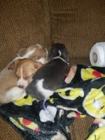 Beagle Puppies for sale in Clarkson, KY, USA. price: NA