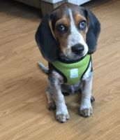 Beagle Puppies for sale in Norwalk, CT, USA. price: NA
