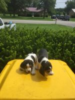 Beagle Puppies for sale in Bowling Green, KY, USA. price: NA