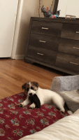 Beagle Puppies for sale in Lincolnwood, IL, USA. price: NA