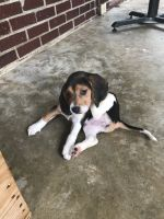 Beagle Puppies for sale in Simpsonville, SC, USA. price: NA