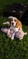 Beagle Puppies for sale in Alvin, TX, USA. price: NA