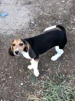 Beagle Puppies for sale in Eldon, MO 65026, USA. price: NA